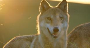 le dernier loup film cinéma